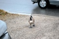 Canada Goose followed me home Fall 2010 DSC 0303.jpg